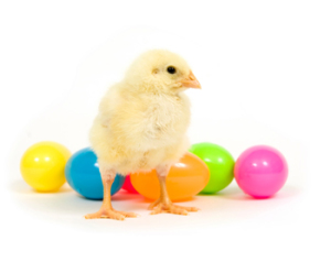 Easter eggs and baby chicken